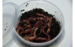 Dendrobeana 1-1,2 gr, doosje