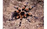 Brachypelma Smithi, Mexicaanse Roodknie Vogelspin, S
