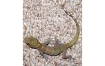 Gecko badenii ulicovski / Golden gecko, L
