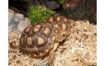 Centrochelys sulcata, Sporenschildpad