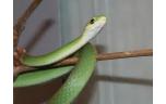 Opheodrys aestivus, M/L green snake