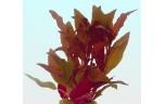Alternanthera cardinalis