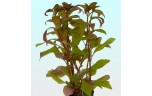 Alternanthera reineckii tc