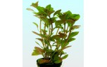 Ludwigia glandulosa l