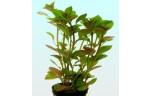 Ludwigia glandulosa tc