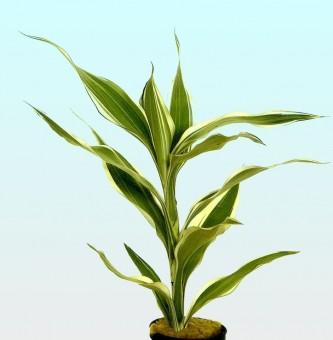 Dracaena sandriana