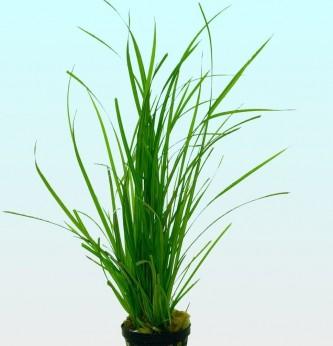 Cyperus helferi