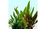 Cryptocoryne mix p