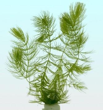 Ceratophyllum demersum l
