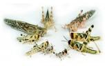 Sprinkhanen, Schistocerca gregaria volwassen, maat 8, bulkverpakking