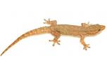 Hemidactylus Frenatus, L