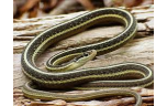 Thamnophis sauritus, M/L