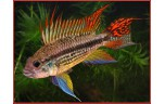 Apistogramma cacatuoides red ML