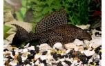 Glyptoperichthys gibbiceps Hoogvinpleco SM