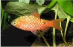 Barbus conchonius Prachtbarbeel L