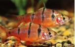 Barbus pentazona Vijfstreepbarbeel M