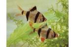 Barbus tetrazona Sumatraan S/M