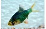 Barbus tetrazona Sumatraan groen S/M