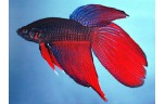 Betta splendens Betta man mix XL
