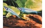 Kryptopterus vitreolus Indische glasmeerval L
