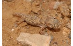 Stenodactylus stenodactylus, M/L