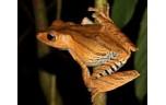 Polypedates Otilophus,Borneo oorkikker, L