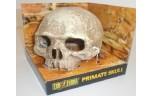 Exo Terra, primate skull