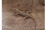 Ptyodactylus hasselquistii L