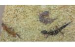 Eublepharis macularius designer, L luipaardgekko