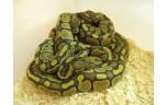 Python regius super pastel, M man