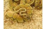 Python regius honey bee, M man NK