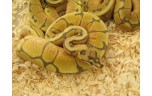 Python regius spider, NK2013 VROUW