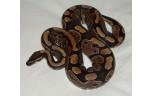 Python regius wildkleur M, NK 2015