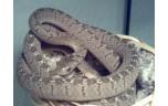 Dasypeltis  spec L  , eieretende slang