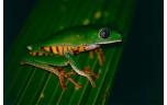 Phyllomedusa tomopterna, L