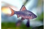Barbus oligolepis Blauwe barbeel L