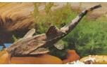 Bunocephalus kneri Braadpanmeerval M