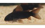 Corydoras Venezuela black M