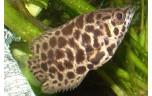 Ctenopoma acutirostre Luipaard gourami S/M