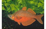 Glossolepis incisus Rode regenboog M/L