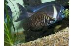 Altolamprologus calvus black 3-4 cm
