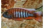 Aulonocara Jacobfreibergi 5-6 cm