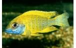 Aulonocara beanschi Keizerbaars yellow 5-6 cm