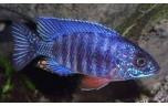 Aulonocara nyassae Keizerbaars blauw 8-10 cm