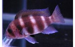 Cyphotilapia frontosa red 8-10 cm