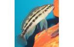 Julidochromis dickfeldi 4-5 cm