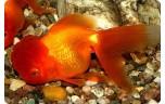 Carassius auratus oranda rood 7-8 met rugvin