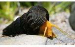 Tylomelania sp. Orange Rabbit Snail