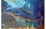 Mormyrus longirostris Baby dolfijn S/M