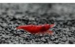 Neocaridina davidi/heteropoda bloody Mary shrimp 1,5-2cm